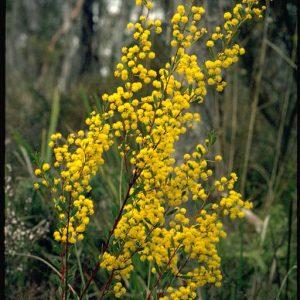 Acacia buxifolia flora ALA source