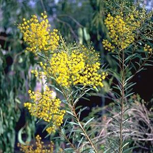 Acacia decora flora ALA source