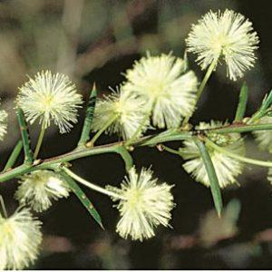 Acacia genistifolia flora ALA source