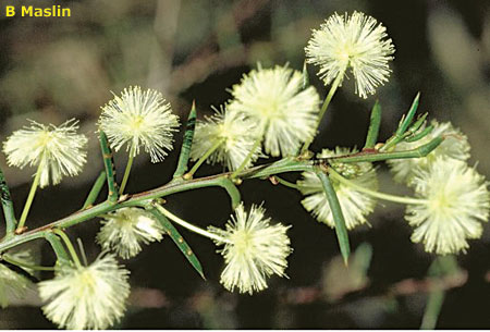 Acacia genistifolia flora ALA source