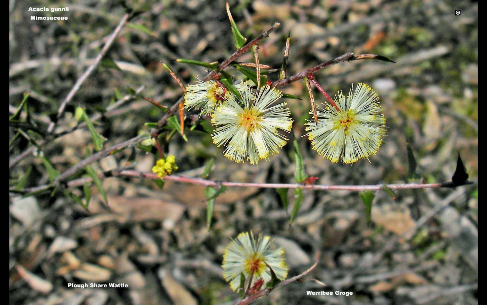Acacia gunnii flora ALA source