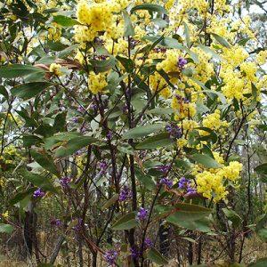 Acacia implexa flora ALA source