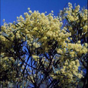 Acacia kettlewelliae flora ALA source