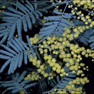 Acacia leucoclada flora ALA source