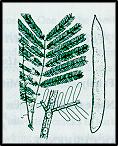 Acacia leucoclada (outline)