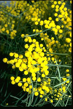 Acacia linearifolia flora ALA source