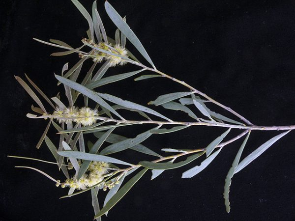Acacia oswaldii flora ALA source