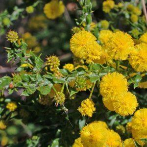 Acacia paradoxa flora ALA source