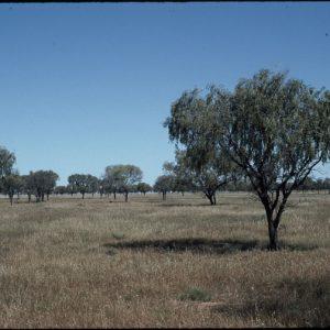 Acacia pendula flora ALA source