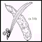 Acacia pendula (outline)