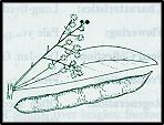 Acacia penninervis (outline)