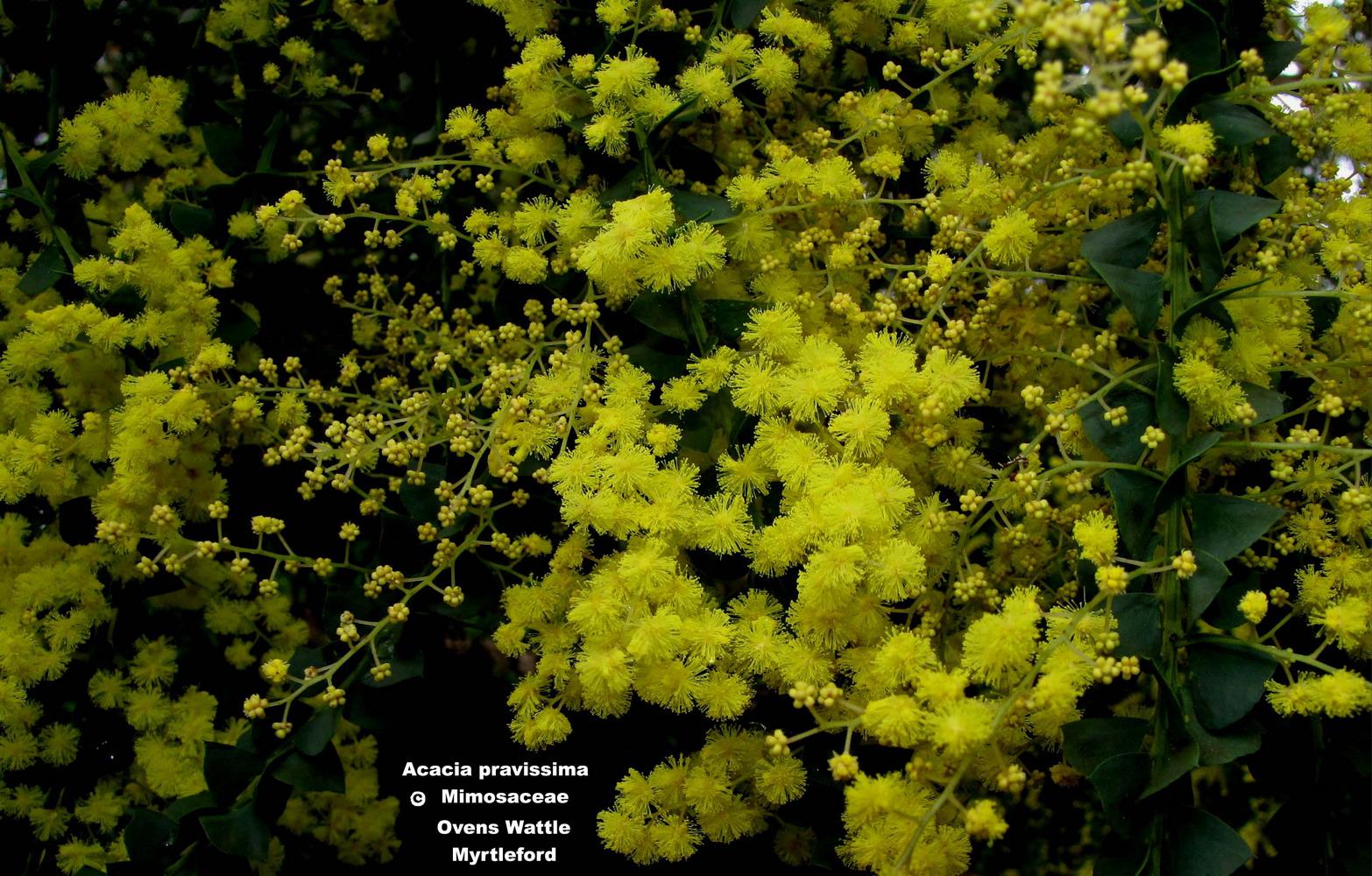 Acacia pravissima flora ALA source