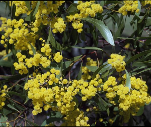 Acacia pycnantha flora ALA source