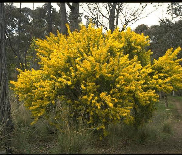Acacia rubida flora ALA source