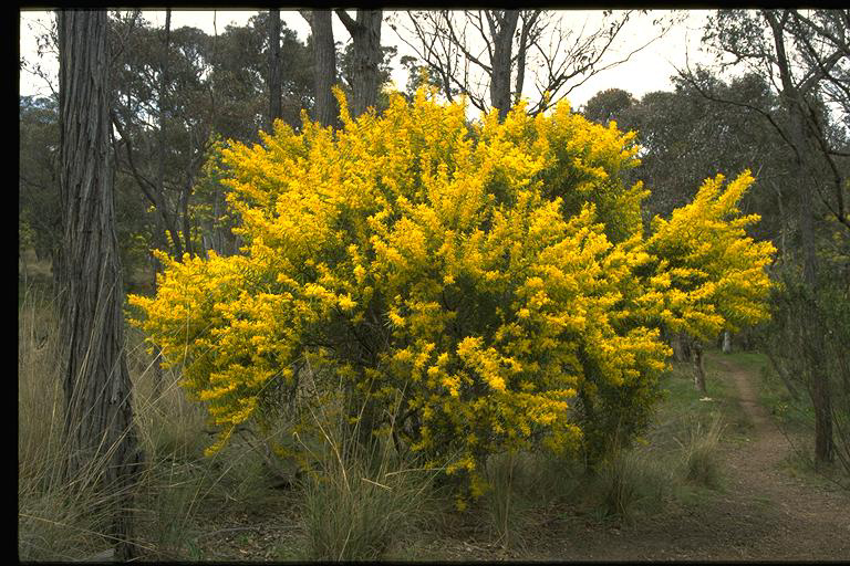 Red Stemmed Wattle Wt Landcare Flora Index