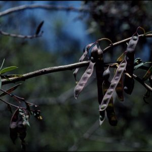Acacia siculiformis flora ALA source