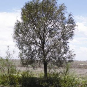 Acacia stenophylla flora ALA source