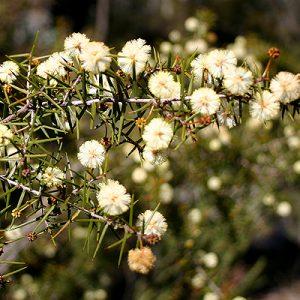Acacia ulicifolia flora ALA source