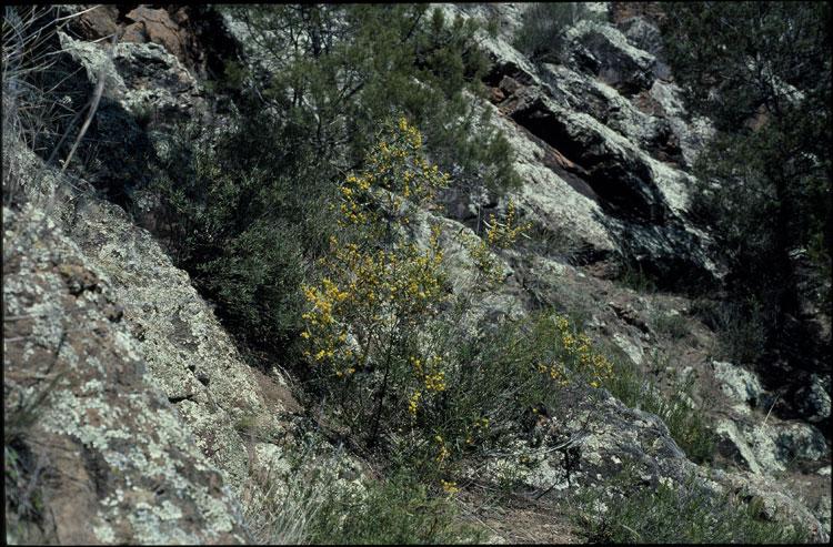 Acacia verniciflua flora ALA source