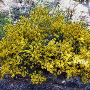 acacia lineata plant