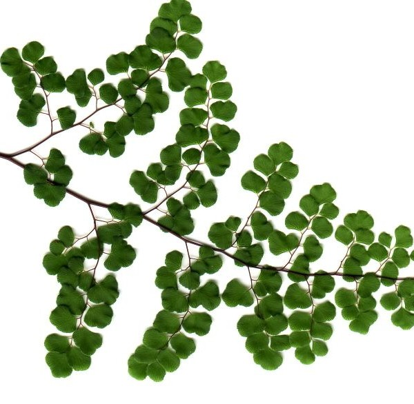 Adiantum aethiopicum flora ALA source