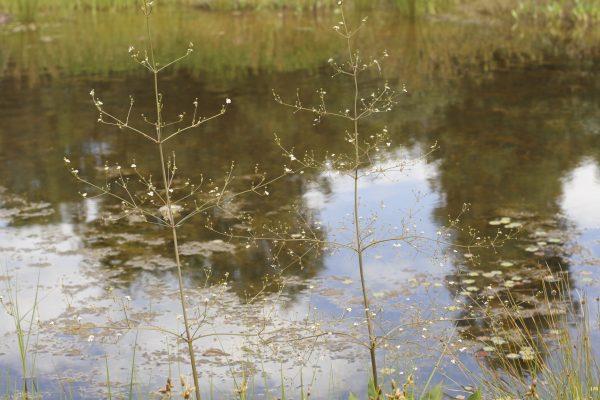Alisma plantago aquatica flora ALA source