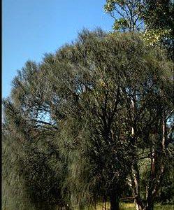 Allocasuarina verticillata flora ALA source