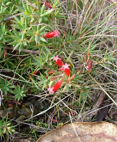 Astroloma humifusum flora ALA source