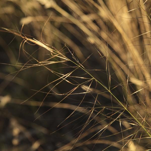 Austrostipa nodosa flora ALA source