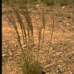 Austrostipa scabra subsp falcata flora ALA source