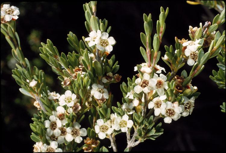 Baeckea utilis flora ALA source