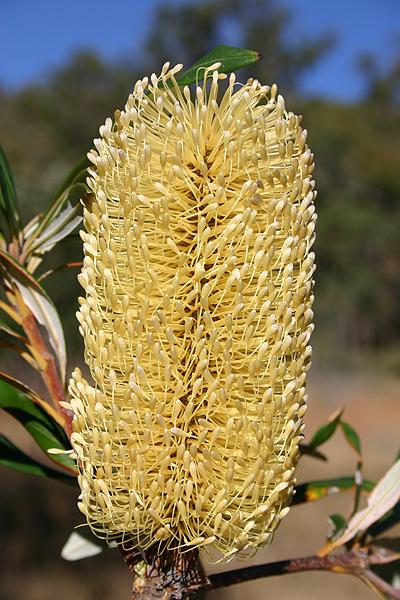 Banksia integrifolia flora ALA source
