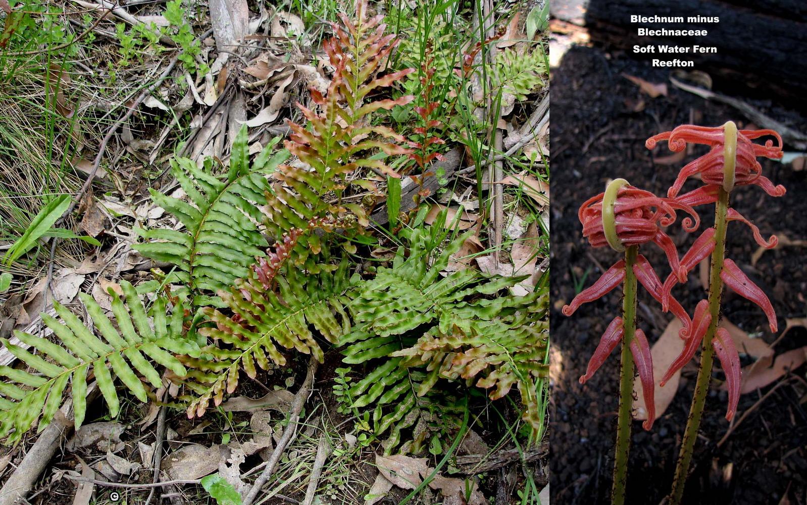 Blechnum minus flora ALA source