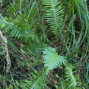 Blechnum nudum flora ALA source