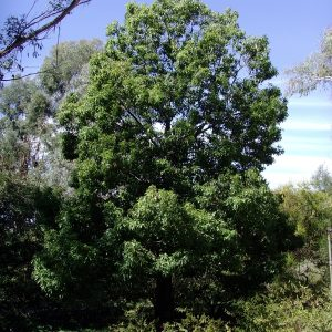 Brachychiton populneus flora ALA source