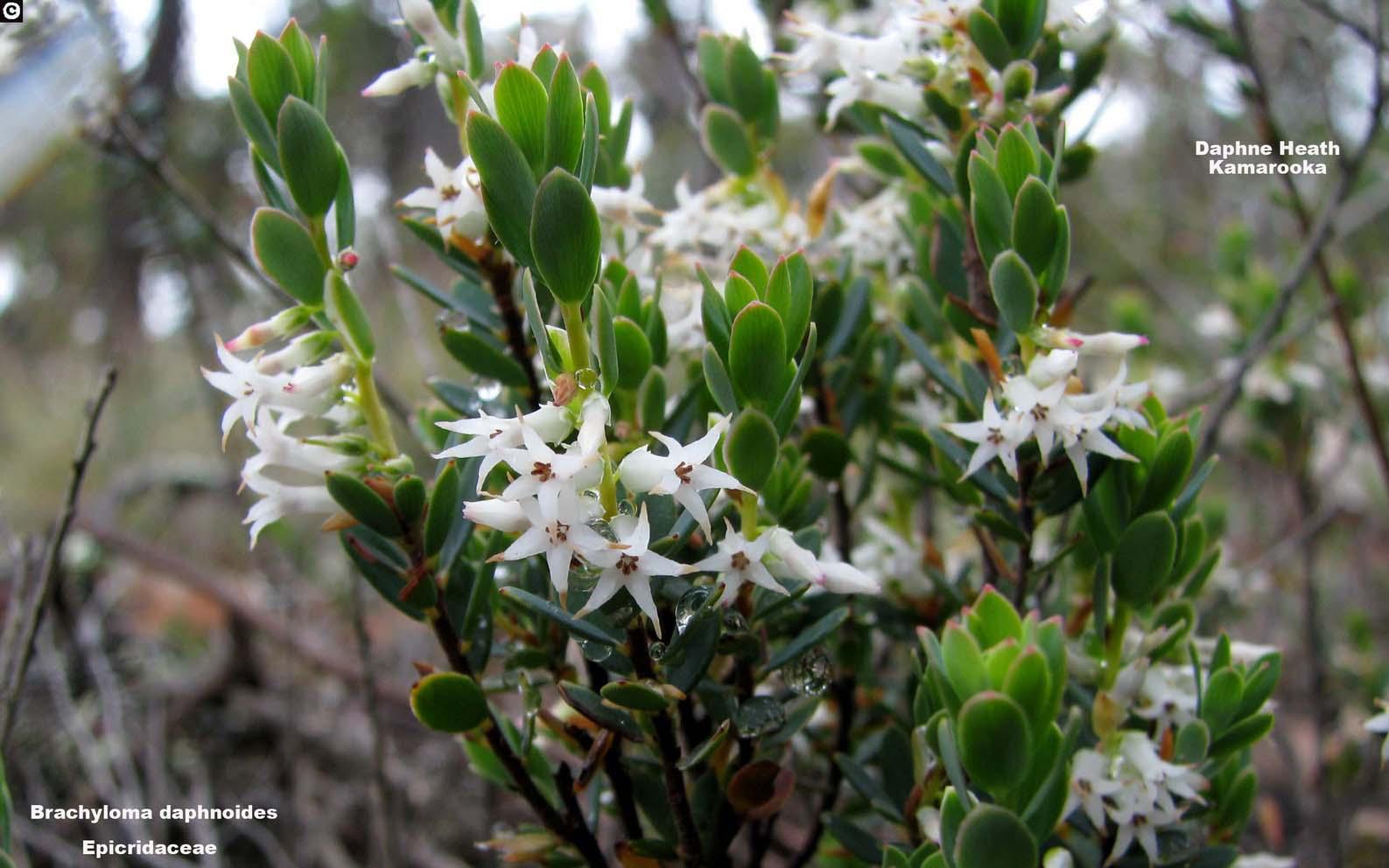 Brachyloma daphnoides flora ALA source