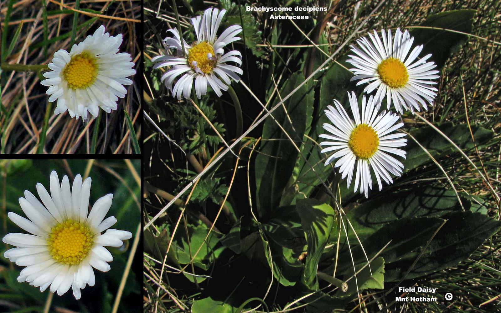 Brachyscome decipiens flora ALA source
