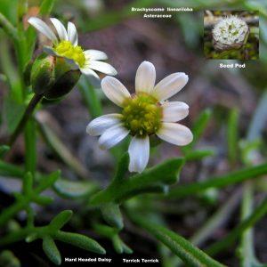Brachyscome lineariloba flora ALA source