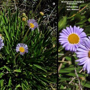 Brachyscome scapigera flora ALA source