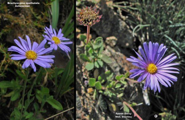 Brachyscome spathulata flora ALA source