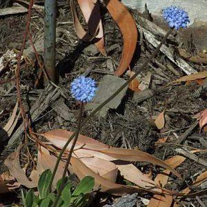 Brunonia australis flora ALA source