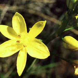 Bulbine bulbosa flora ALA source