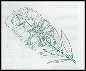 Callistemon pityoides (outline)