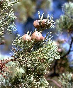 Callitris glaucophylla flora ALA source