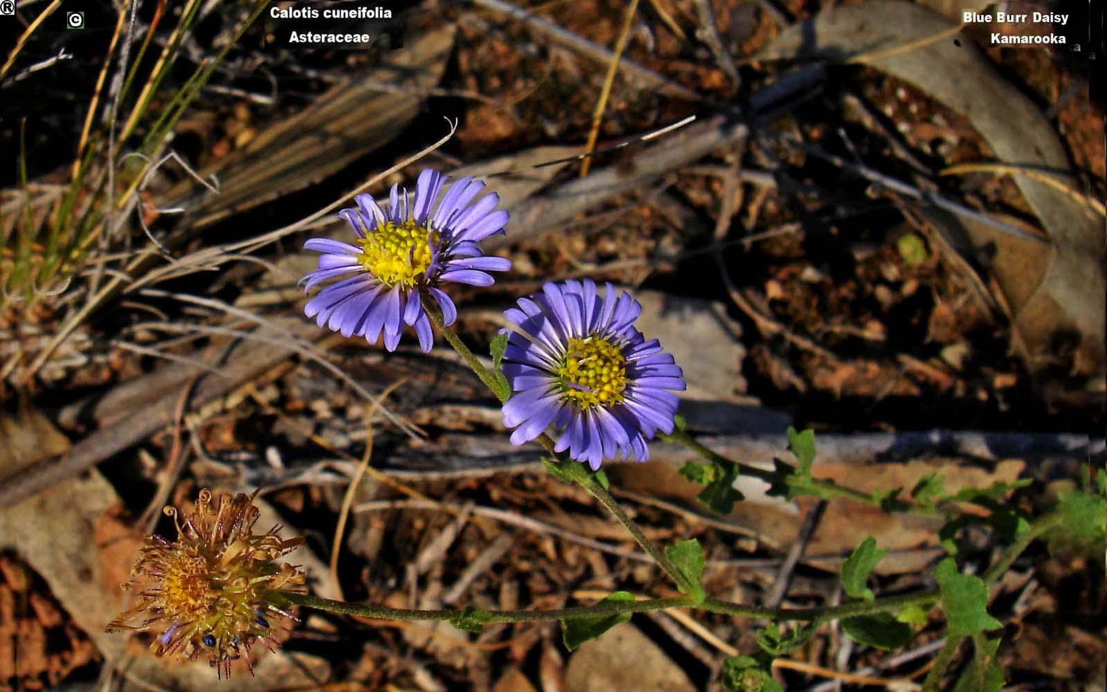 Calotis cuneifolia flora ALA source