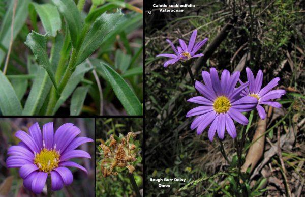 Calotis scabiosifolia flora ALA source
