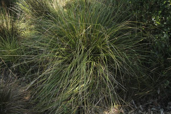 Carex appressa flora ALA source
