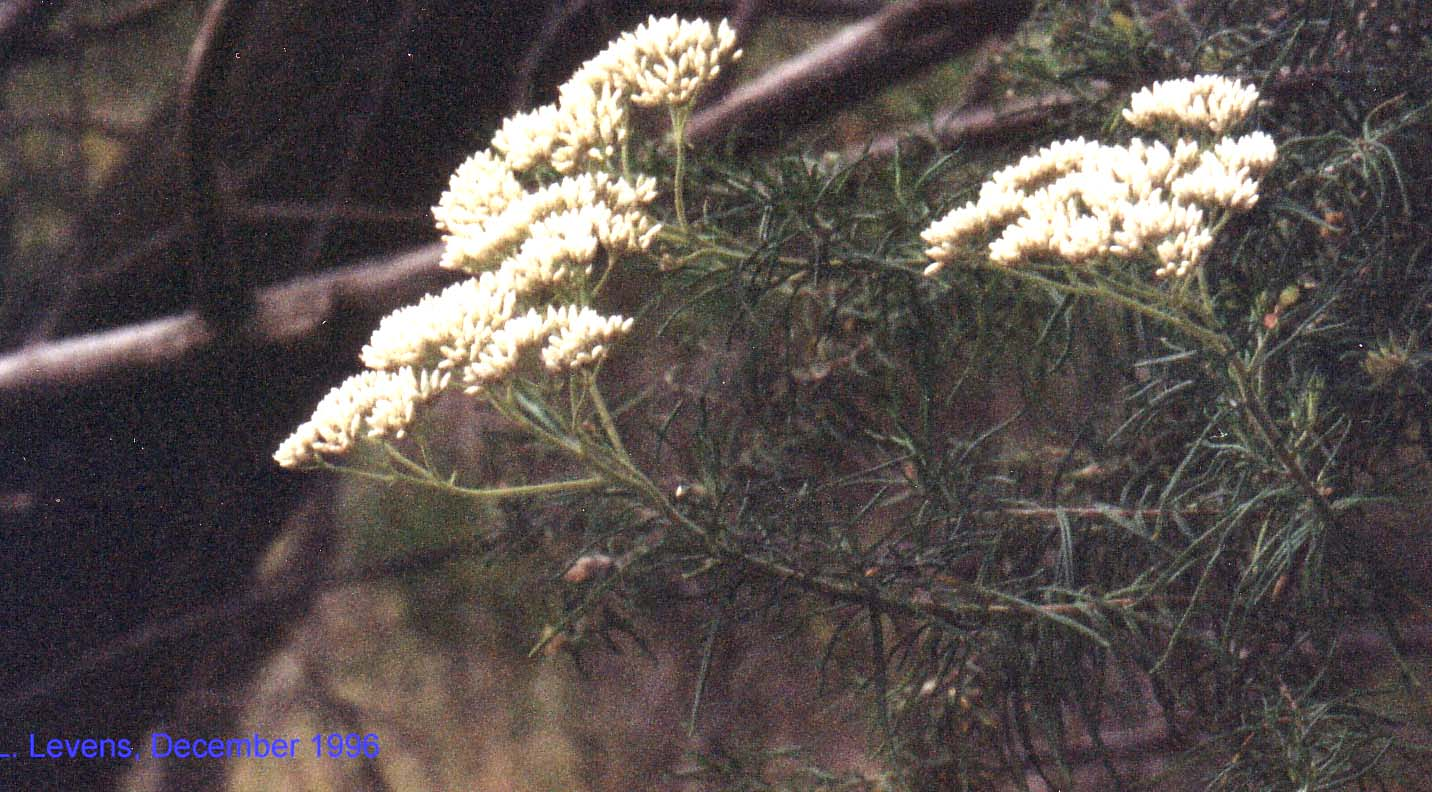 Cassinia aculeata flora ALA source