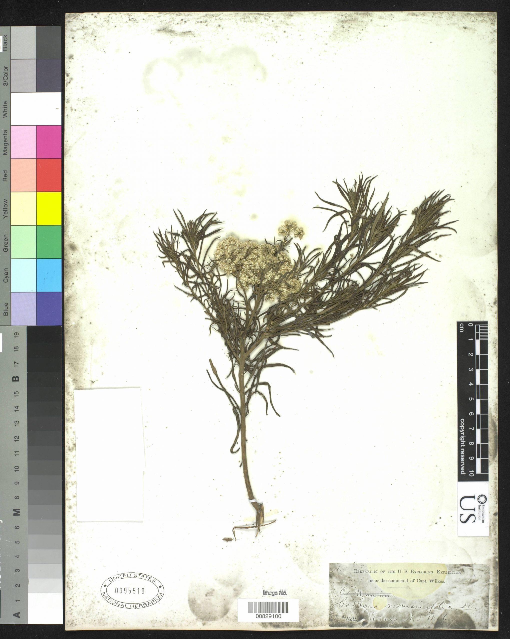 Cassinia laevis flora ALA source