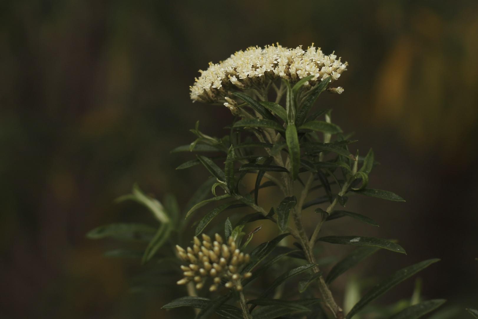 Cassinia longifolia flora ALA source
